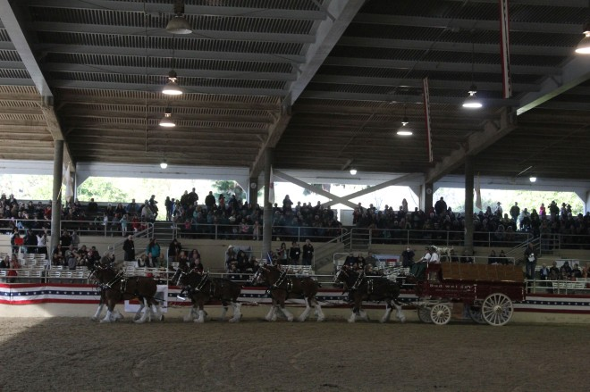 The Budweiser team came at the end and was a huge hit. The horse are selected by size (smallest in the front) for their position in the team. The front horses need to be more manueverable and the back horses more powerful, which I did not know