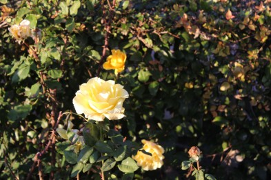 The roses were still in bloom despite the chilly weather