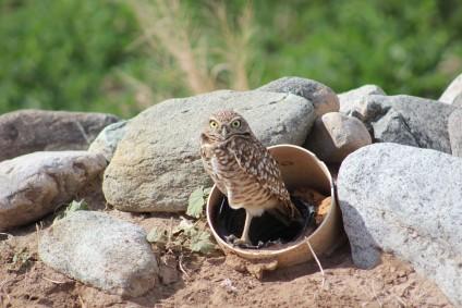 Burrowing Owl Cibola, AZ