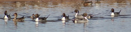 Family of northern pintails. first for me