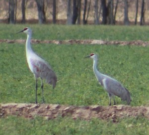 Sandhill Crane Cibola, AZ