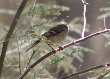 Southwestern Willow Flycatcher Cibola, AZ