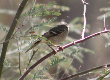 And this southwestern Willow flycatcher