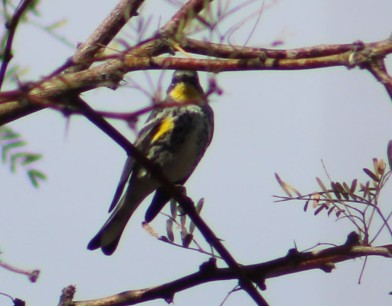 Lee got a shot of this Yellow-rumped Warbler