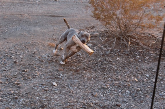 Hurley, Steve and Deb's dog playing fetch with a log of wood. All the puppies everywhere makes me happy
