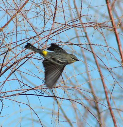 Orange-Crowned Warbler cibola, AZ