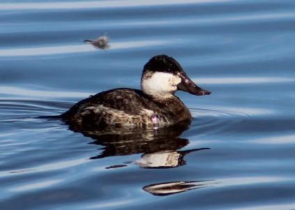 Ruddy Duck Cibola,AZ
