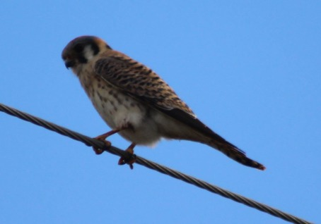 So of course there were hawks. Lee got this beautiful shot of an American Kestrel...a first for us