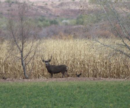 yy mule deer