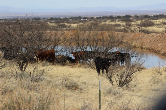 This is cattle country and they stayed pretty close to the small bodies of water