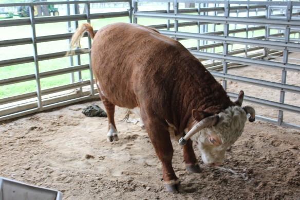 They raise HEreford cattle here