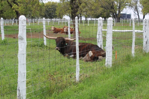 They have a herd of Texas Long Horns.