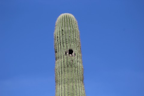 Gila Woodpeckers make nests in the cacti for their eggs. Pretty safe place for them