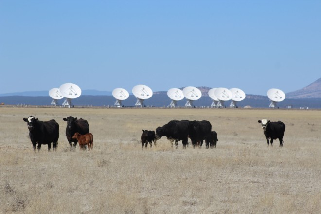 And we both loved the cows that graze freely on the land. They've even lined up like the dishes for us (Lee's pic)