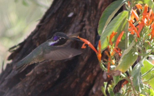 Black chinned hummingbird (Lee's pic)