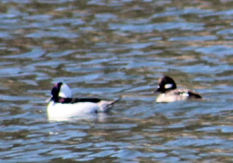 Bufflehead Duck Gila National Forest, NM