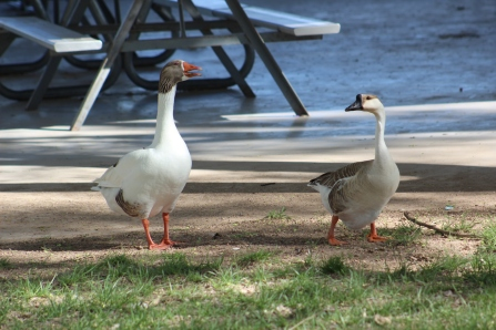 I think these are snow geese :)