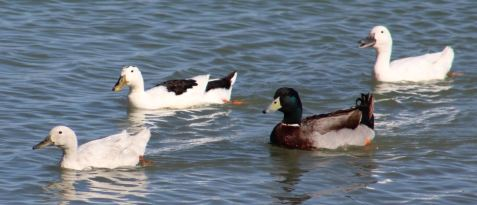 Have no clue what these ducks are either
