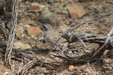 Five Striped Sparrow Tuscon Arizona (Lee's pic)