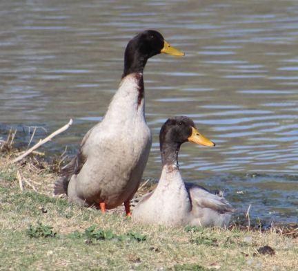 Nesting ducks