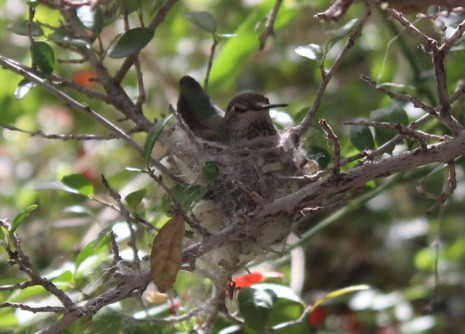 First hummingbird in a nest