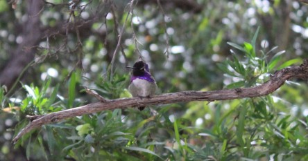 And this beauty the Costa Hummingbird