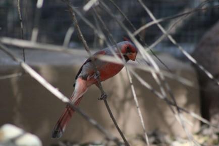 Pyrrhulocxia Tuscon, AZ (Lee's pic)