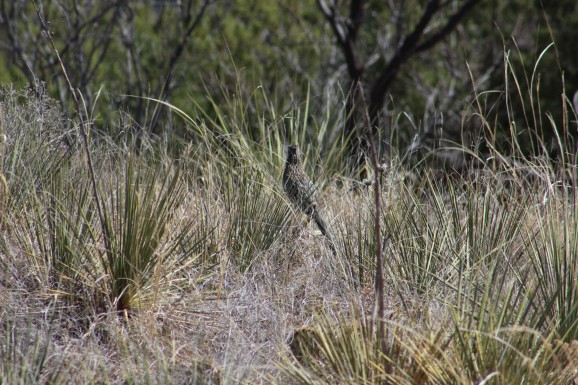 And got my first shot of a road runner in the wild