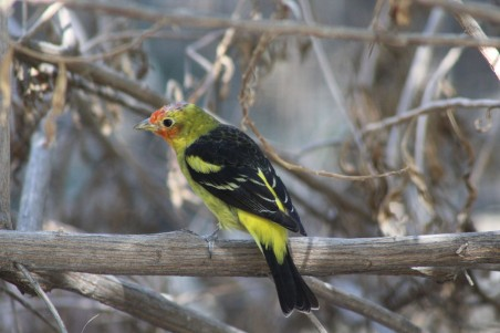 Saw a Western Tanager