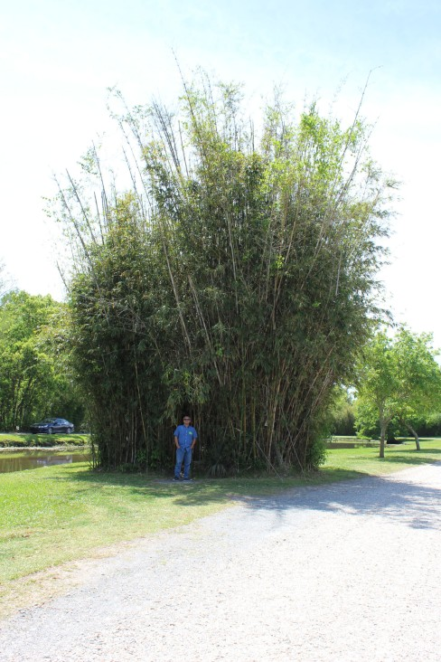 This huge stand of bamboo was cut our so you could walk inside