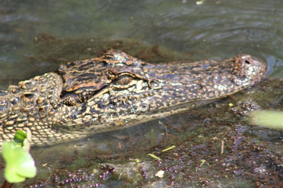 And Lee's amazing pic of the alligator