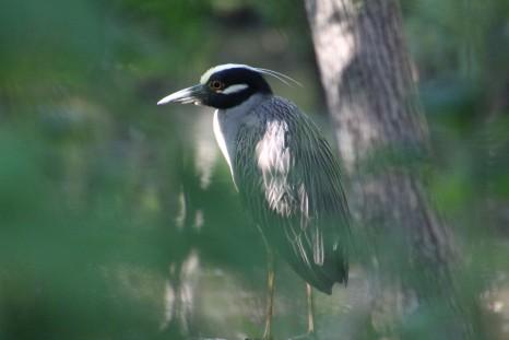 Yello-Crowned Night Heron Westwego, LA