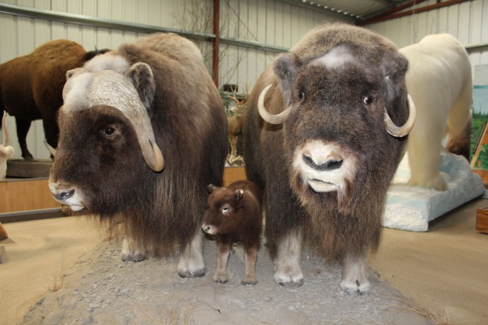 I think these were musk oxen