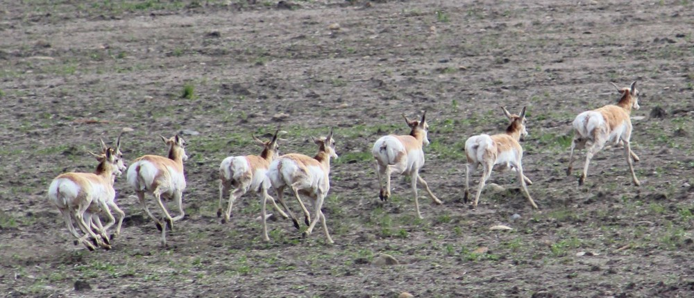 My first antelope pic