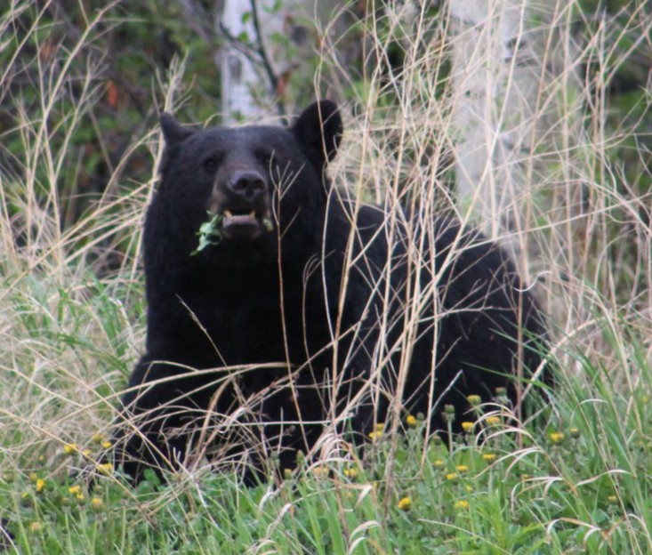 Lee got this great shot of the first bear eating grass