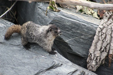 Marmots living in the rocks by the dock were very cool