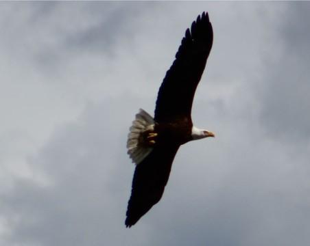 ybald eagles