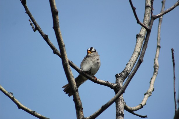 ywhite-crowned sparrow