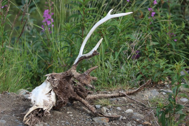 Lee found an intact caribou skull. Very rare to find these with the horns still on them