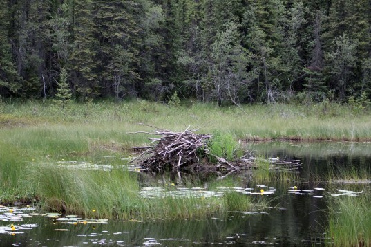 My favorite beaver dam so far