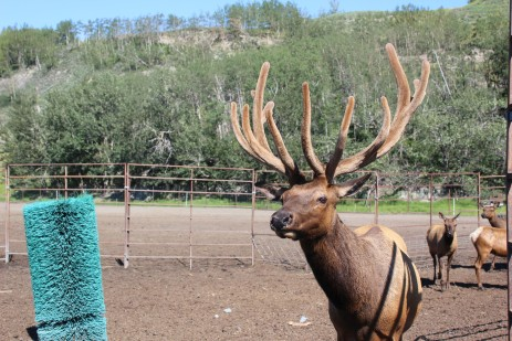 The dominant male in the herd. When the younger males get bigger they are separated during rutting season