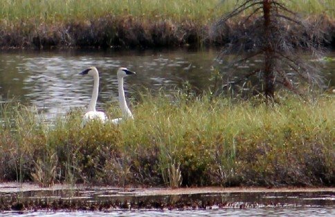 Trumpeteer Swans, Nelchina AK
