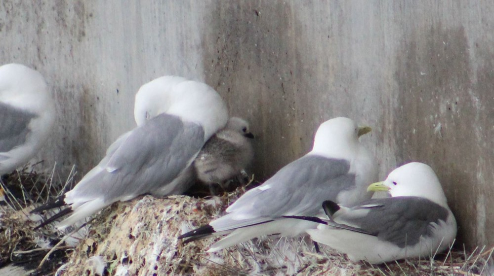 Seagulls were nesting right above the fish and Bill pointed out this baby Black-legged Kittiwake