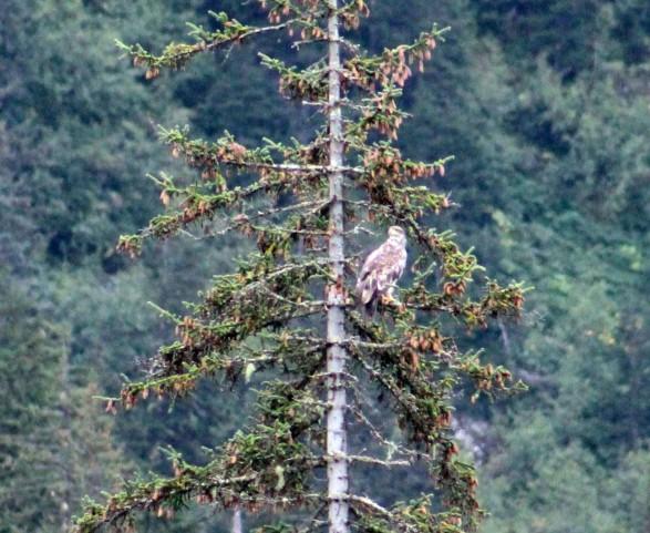 yjuvenile eagle