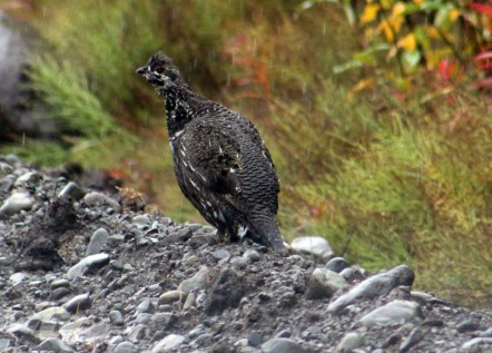 Rock Ptarmigan Wrangell-St. Elias National Park, AK