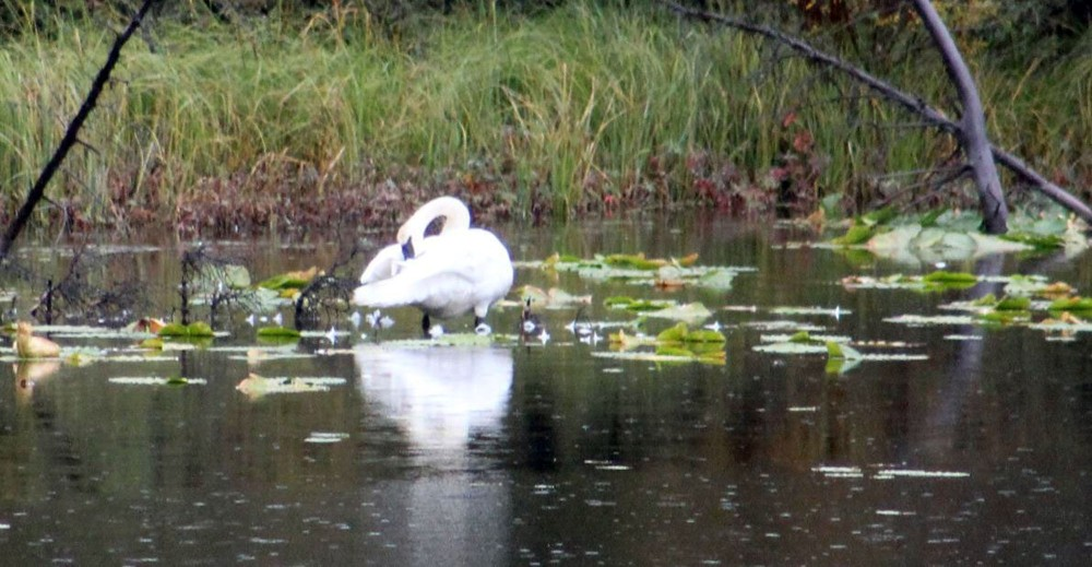 A huge Tundra Swan