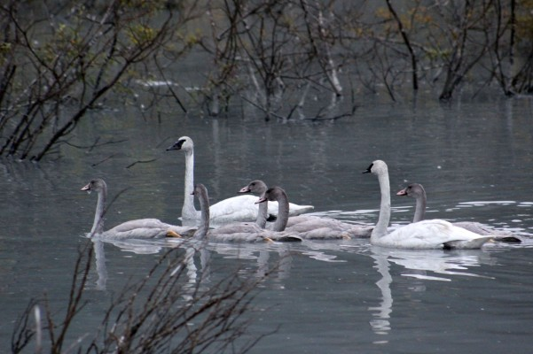 A family of swans across the way so cool to finally get this shot!