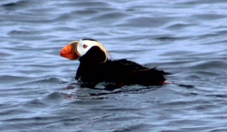 Tufted Puffin Valdez, AK