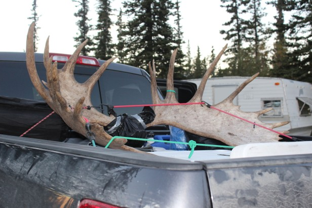 One of our guests had a truck full of coolers and these antlers. They thought the moose was 7-8 years old. Must have been a big one