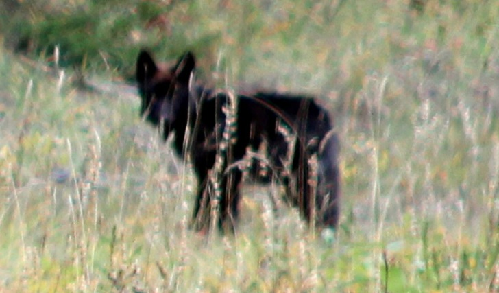 Baby Timber Wolf. I saw this one and Lee wouldn't let me get out and walk back to take a pic, so this was the best I could get but my very first wolf in the wild!!!
